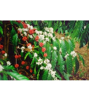 NICARAGUA  organique